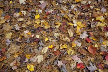 Fallen Autumn foliage on the forest floor