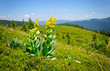 Leinwanddruck Bild - Gentian (Gentiana lutea) on a background of mountains and blue s