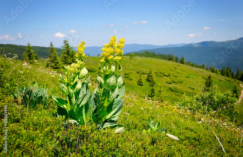 Leinwanddruck Bild Gentian (Gentiana lutea) on a background of mountains and blue s