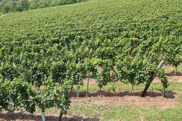 Vineyard with clusters of grapes for the production of white win