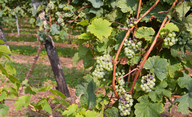grape bunch in the vineyard for the production of sparkling wine