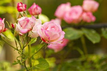 pink rose flower garden