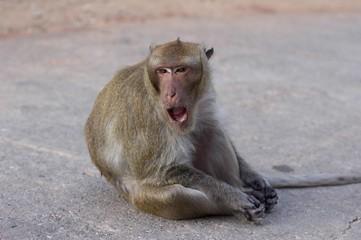 Monkey animal