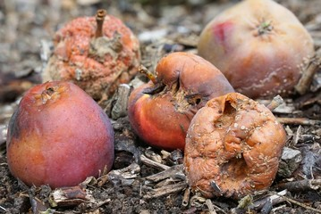 Group of rotten apples on the ground