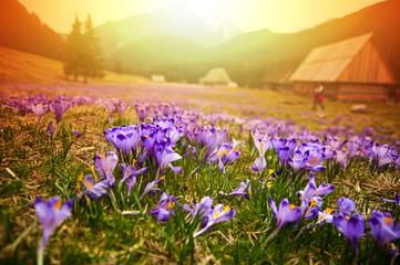 Spring meadow in mountains full of crocus flowers in bloom at su