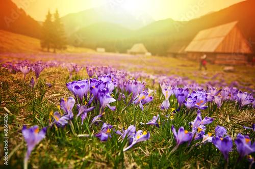 Foto op Aluminium Krokussen Spring meadow in mountains full of crocus flowers in bloom at su
