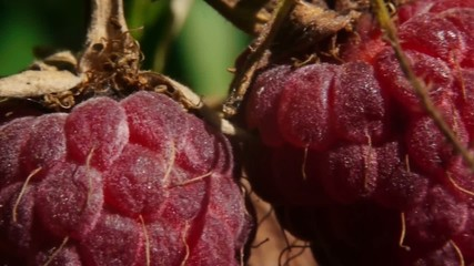 Stock Video Footage Berries Raspberry macro