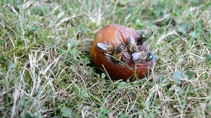 Bees and flies eat rotten plum. Closeup shot.
