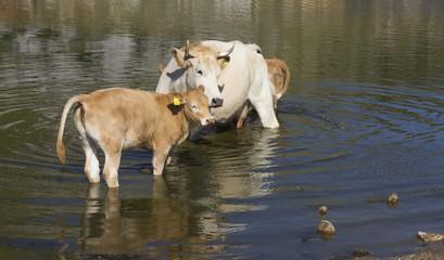 Vitello gioca in acqua con la madre