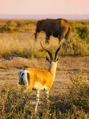 Impala and elephant