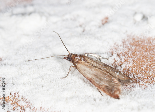 Leinwanddruck Bild Flour Moth, Pantry Moth (Ephestia kuehniella)