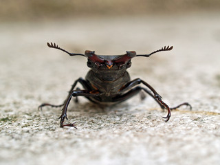 Maschio mesodonte di cervo volante (Lucanus cervus)