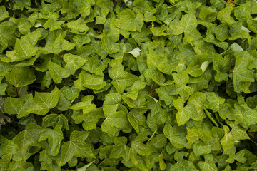 Close up view of a Hedera helix plant climbing up a wall.