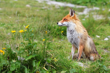 Fox in nature