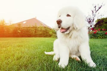 Cute white puppy dog sitting on grass. Polish Tatra Sheepdog
