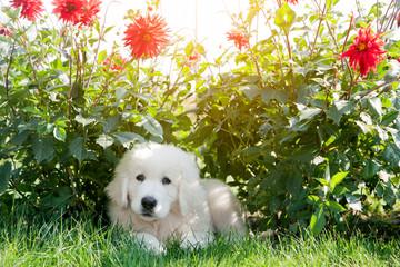 Cute puppy dog lying on grass in flowers. Polish Tatra Sheepdog
