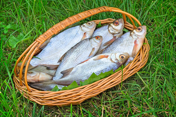 Wattled basket with the caught fish on the river bank.