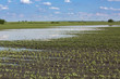 Agricultural disaster, flooded corn maize crops. - 68675865