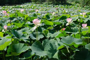 See voller Lotosblumen