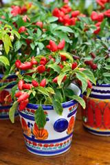 Ornamental pepper in a pot