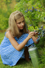 Summer garden - beautiful girl picking blueberries