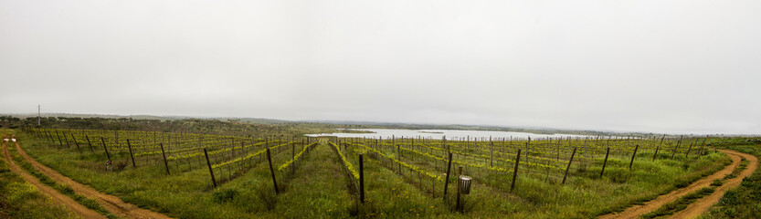Panoramic view of a grape vineyard cultivation