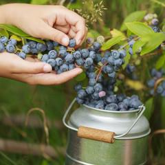 Summer garden - girl picking blueberries