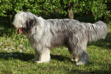 Bearded collie standing in the grass alone