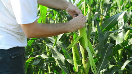 Farmer in Cultivated agricultural Corn Field examining corn cob