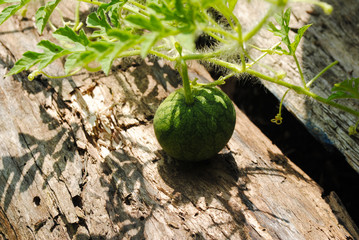 Tiny Watermelon Plant Growing in a Summer Garden