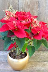 Weihnachtsstern im Blumentopf