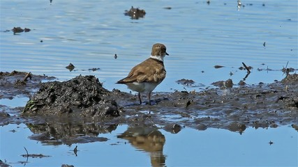 Little Ringed Plover  (Charadrius dubius ) cleaning herself