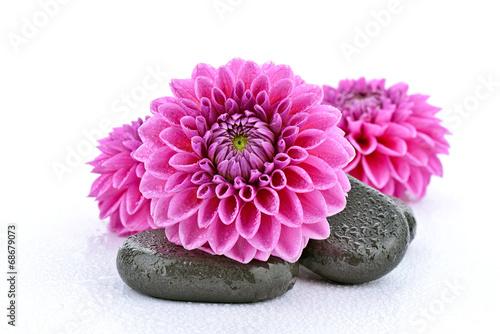 Fotobehang Dahlia Różowe dalie z kamieniami bazaltowymi