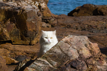 White tabby Persian Ragdoll cat sitting relaxed on the beach