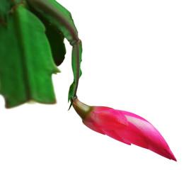 Zygocactus schlumbergera