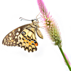 lime butterfly on flower