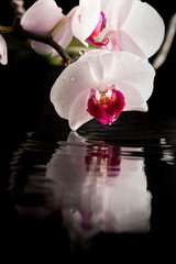 Flowering white orchid with water reflection