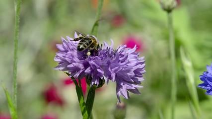 Blaue Kornblume mit Biene