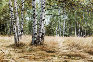 Birch trees in late summer