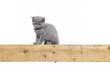 canvas print picture - Britisch Kurzhaar BKH Kitten / British Shorthair