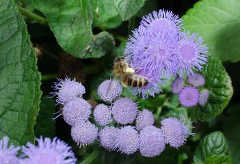 schwer bepackte Biene