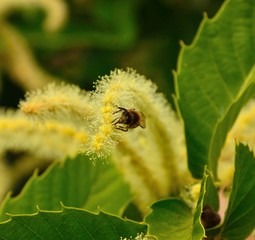 Bee collecting on chestnut flowers