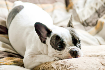 French bulldog and cushion