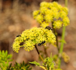 Fennel flowers with ants