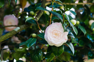 White camellias in the tree