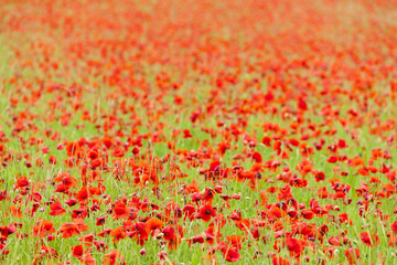 meadow of red poppies