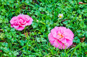 Camellias on grass
