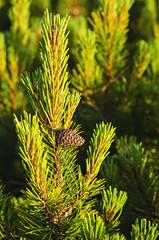 Alpine pine