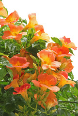 fleurs de campsis