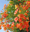 canvas print picture - fleurs de campsis